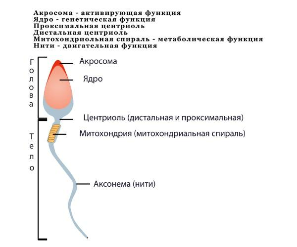 Степень подвижности сперматозоидов в норме